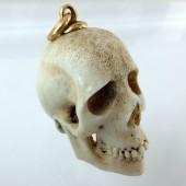 Stag antlers skull